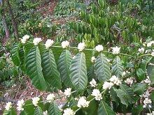 Kaffee Samen (Bohnen) Coffea robusta -20 Samen