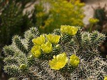 Kakteengarten 1 Pflanze winterharte Cylindroopuntia whipplei im 9cm Topf