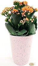 KALANCHOE KALANDIVA ORANGE in Keramikvase rosa
