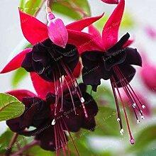 Kalash New 100pcs Doppelblütenblätter Fuchsia