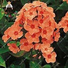 Kalash New 50pcs Phlox Blumensamen für Garten Red
