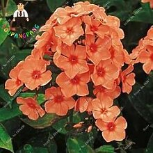 Kalash New 50pcs Phlox Blumensamen für Garten Rosa