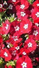 Kalash New 50pcs Phlox Blumensamen für Garten Rot