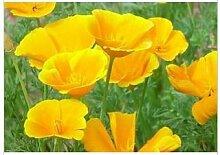 Kalifornien Mohn Kalifornischer Mohn Samen Gras Gelb 30 Korn / pack Garten Dekoration Bonsai Blumensamen