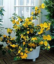 Kalifornischer Flieder gelb blühend, 1 Pflanze