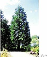 Kalifornischer Mammutbaum - XXL