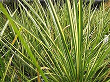 Kalmus - gestreift Teichpflanze Teichpflanzen Teich