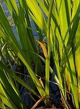 Kalmus - grün Teichpflanze Teichpflanzen Teich