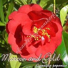 Kamelie 'Maroon and Gold' - Camellia japonica - 4 bis 5-jährige Pflanze