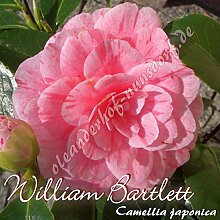 Kamelie 'William Bartlett' - Camellia japonica - 8 bis 10-jährige Pflanze