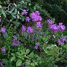 Kanadische Azalee 50-60cm - Rhododendron canadense