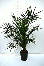 Kanarische Dattelpalme - Phoenix canariensis -
