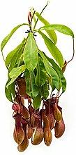 Kannenpflanze 40-55 cm im 14 cm Topf hängende