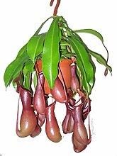 Kannenpflanze, Fleischfressende Pflanze,