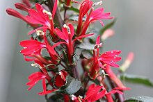 Kardinalslobelie (Lobelia cardinalis) Teichpflanzen Teichpflanze