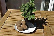 Kartoffelpflanze 'Blue Danube' - kräftige Jungpflanze im 1,3L Topf (3er-Set)