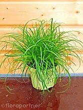 Katzengras Cyperus zumula Futter Pflanze für Ihren Stubentiger 4stk.