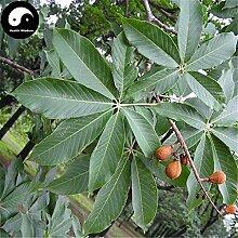 Kaufen Aesculus Baumsamen 10pcs Pflanze Aesculus chinensis Sieben Blätter Baum
