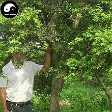 Kaufen Allgemeine Boxwood Baumsamen 120pcs Pflanze Populus simonii Baum für Buxus Sinica