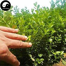 Kaufen Allgemeine Boxwood Baumsamen 60pcs Pflanze Populus simonii Baum für Buxus Sinica