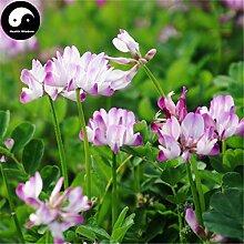 Kaufen Astragalus Sinicus Blumensamen 300pcs Pflanze Lila Blume Astragalus