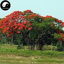 Kaufen Delonix Regia Baumsamen 80pcs Pflanze Peacacock Blume für Phoenix Holz