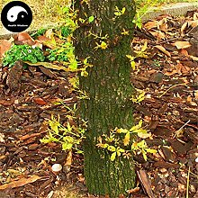 Kaufen Eiche Samen 15pcs Pflanze Chinese Quercus Acuta Baum für Quercus Xiang Shu