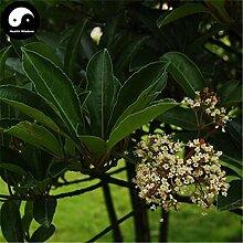 Kaufen Ilex chinensis Baumsamen 120pcs Pflanze Holly Baum für Chinese Dong Qing