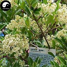 Kaufen Ilex chinensis Baumsamen 240pcs Pflanze Holly Baum für Chinese Dong Qing