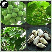 Kaufen Jatropha Carcas Baumsamen 120pcs Pflanze Purgiernuss Baum für Ma Feng Shu