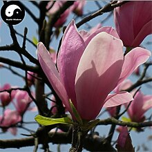 Kaufen Lila Lily Magnolien-Baum-Samen 200pcs Pflanze Mchella Liliflora Zi Yu Lan