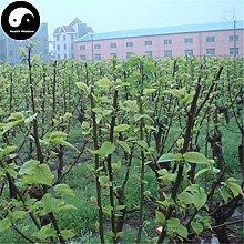 Kaufen Morus Alba Baumsamen 400pcs Pflanze Mulberry Blatt Für Silkworm Lebensmittel Sang Shu