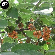 Kaufen Papiermaulbeerbaum Samen 60pcs Pflanze Broussonetia Papyrifera Für Gou Shu