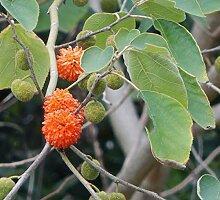 Kaufen Papiermaulbeerbaum Samen 60Pcs Pflanze