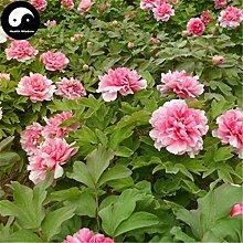 Kaufen Peony Baumsamen 120pcs Pflanze Paeonia Für Chinesische Blumen König Mu Dan