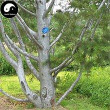Kaufen Pinus Bungeana Baumsamen 200pcs Pflanze White Pine Für chinesische Bai Pi-Lied