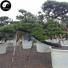 Kaufen Schwarz Kiefer Samen 50pcs Pflanze Pinus thunbergii Tree Chinese Hei-Lied