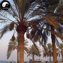Kaufen Sea Jujube Baum Samen 80pcs Pflanze Phoenix Dactylifera Baum für Nuss Hai Zao