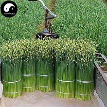 Kaufen Wurzel Leek Samen 800pcs Pflanze Gewürze Gemüse Petersilie Knoblauch-Schnittlauch