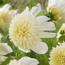 KEBOL Anemonenblütige Dahlie | tolle Topfpflanze