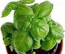 Keimfutter: Rdr Seeds 150 Sweet Basil Samen-