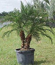 Keimfutter: Zwerg-Dattelpalme Palme, 100 Samen