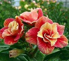 Keland Garten - 10 stück Wüstenrose Samen