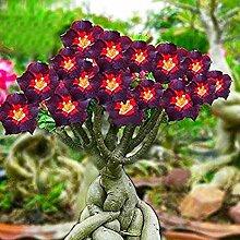 Keland Garten - 100 stück Wüstenrose Samen