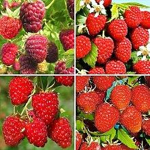 Keland Garten - 100pcs Bio Edelhimbeere Samen aromatisch widerstandsfähig Obst Samen herbsttragend (Rot)