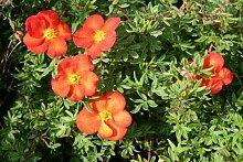 Keland Garten - 10pcs Fingerstrauch 'Marian