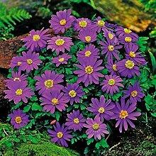 Keland Garten - 10pcs Raritäten Herbstanemone