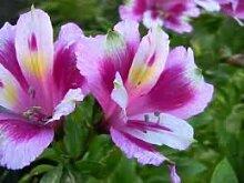 Keland Garten - 20 Heilpflanzen Kapuzinerkresse