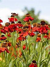 Keland Garten - 20pcs Herbst-Sonnenbraut