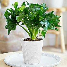 Keland Garten - 20pcs Philodendron Bonsai